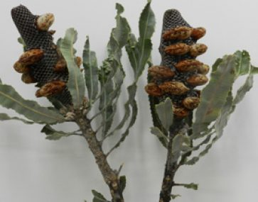 Banksia's